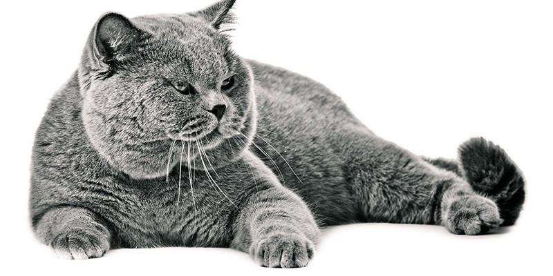 British shorthair cat on a white background.  british cat isolated
